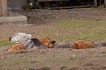 Domestic Fowl, Free-range husbandry