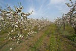 Apple blossom in the Altes Land