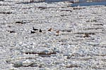 Graylag goose drifting on  the ice floe