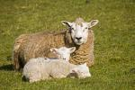 Domestic Sheep with lambs