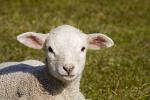 Domestic Sheep, lamb