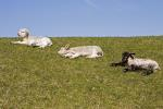 Domestic Sheep, lambs