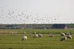 Domestic Sheep and  Golden Plover