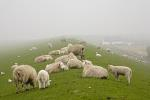 Domestic Sheep in the fog