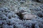 Elk or Wapiti - Bull Elk