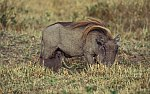 Warthog with cubs