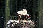 White Stork on the snow
