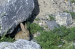 Wildkaninchen / Rabbit
