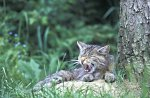 Common Wild Cat