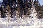 Yellowstone NP, Trees in haze