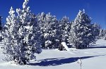 Yellowstone NP, Trees in the snow