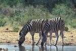 Burchell´s Zebra