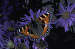 small tortoiseshell (butterfly)