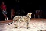 Cheetah in the Lodge