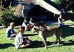 Cheetah and tourist