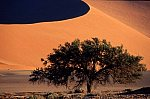 Tree (Acacia) in the Dead Vlei, Namib desert
