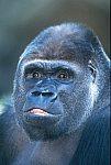 Gorilla (captive)