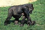 Gorilla with cub, 6 weeks old(captive)