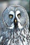 Graet Grey Owl (captive)
